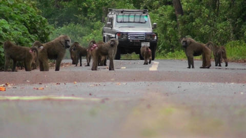Baboons play on a road in Africa as a vehicle approaches Stock Video Footage