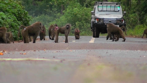 Baboons play on a road in Africa as a vehicle approaches Footage