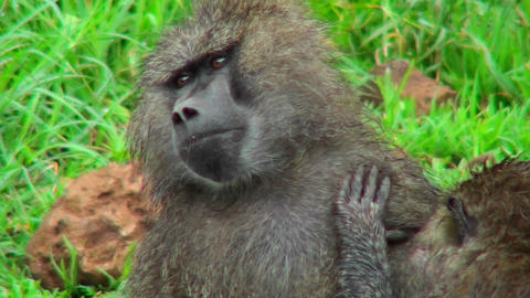 Baboons groom each other in Africa Stock Video Footage