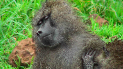 Baboons groom each other in Africa Footage