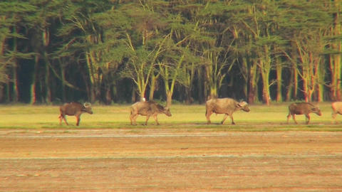 Cape buffalo walk across the plains of Africa Stock Video Footage