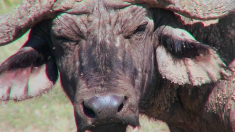 An extreme close up of a cape buffalo face looking angry Stock Video Footage