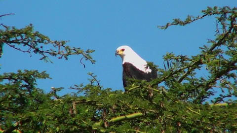 An African fish eagle sits in a thorny bush tree and then flies away Footage