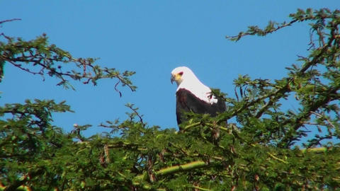 An African fish eagle sits in a thorny bush tree and then... Stock Video Footage