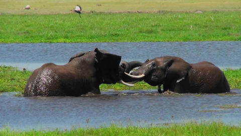 Juvenile elephants play and tussle in a watering hole in Africa Footage