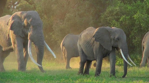 Elephants with giant tusks walk in golden morning sunrise... Stock Video Footage