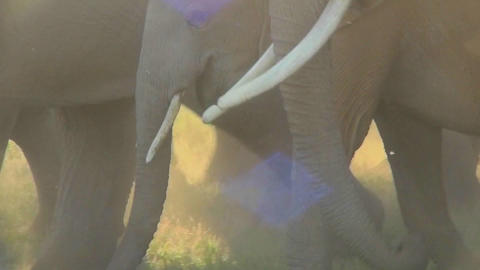 Elephant hooves and feet walking in a cloud of dust Stock Video Footage