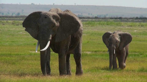 An elephant walks with its baby in Africa Stock Video Footage