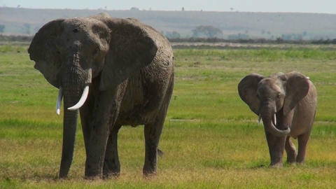 An elephant walks with its baby in Africa Footage