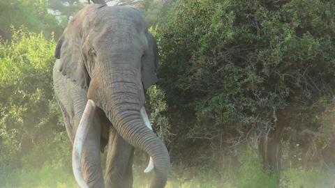 An elephant with massive tusks walks through the bush in Africa Footage