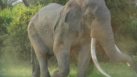 An elephant with massive tusks walks through the bush in... Stock Video Footage