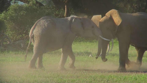 Elephants square off and fight in Africa Footage