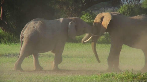 Elephants square off and fight in Africa Stock Video Footage