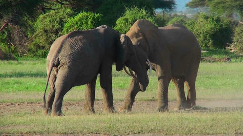 Two elephants lock tusks and fight on the plains of Africa Stock Video Footage