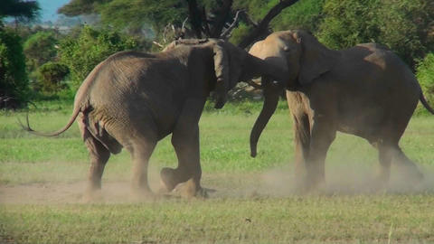 Two elephants lock tusks and fight on the plains of Africa Footage