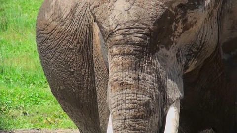 A close up of an elephant face in Africa Stock Video Footage