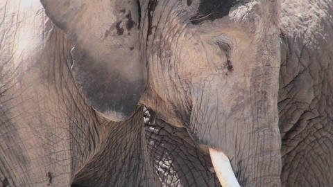 Good close up of an elephant sleeping Stock Video Footage
