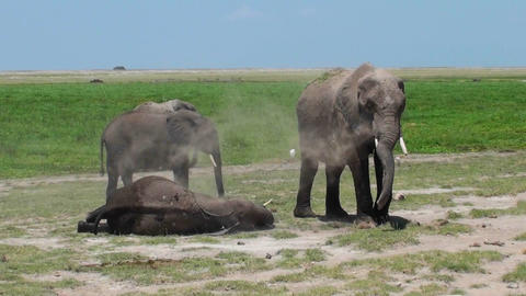 An elephant gives himself a dust bath while another sleeps Stock Video Footage