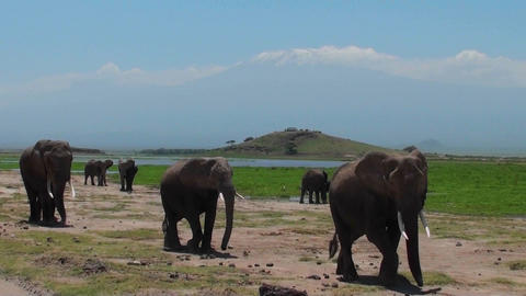 A herd of elephants walk past with Mt. Kilimanjaro in the... Stock Video Footage