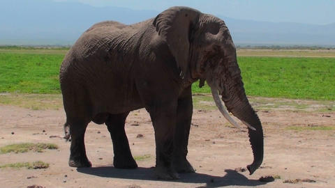 A giant elephant extends its trunk Footage