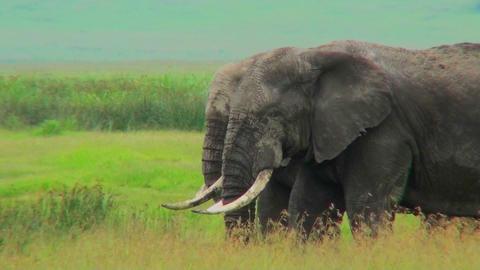 Two elephants graze in yellow fields in Africa Stock Video Footage