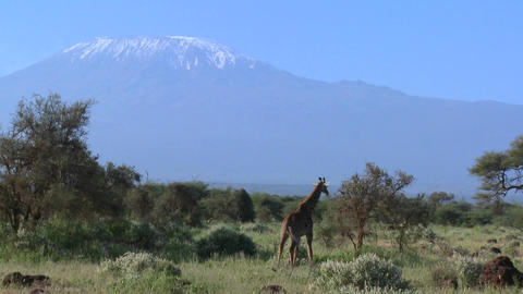 A giraffe stands in front of Mt. Kilimanjaro in the distance Stock Video Footage