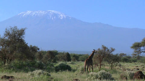 A giraffe stands in front of Mt. Kilimanjaro in the distance Footage