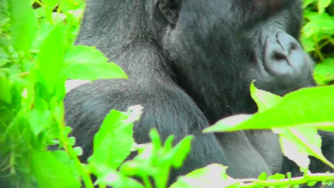 A gorilla sits in the greenery of the Rwanda rainforest Stock Video Footage