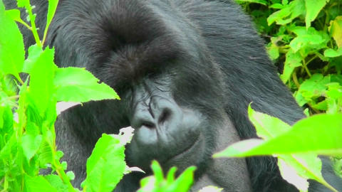 A gorilla sits in the greenery of the Rwanda rainforest Footage