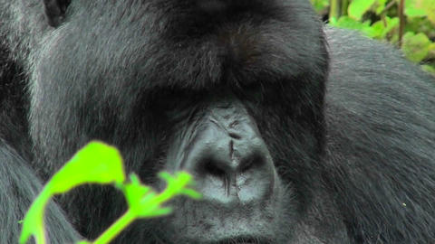 An adult mountain gorilla bears a serious expression... Stock Video Footage