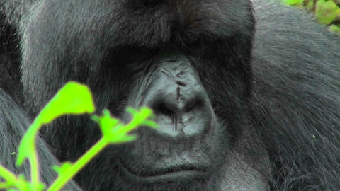 An adult mountain gorilla bears a serious expression sitting in the Rwandan rainforest Footage