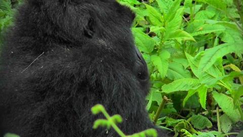A mountain gorilla looks around in the Rwandan rainforest Stock Video Footage