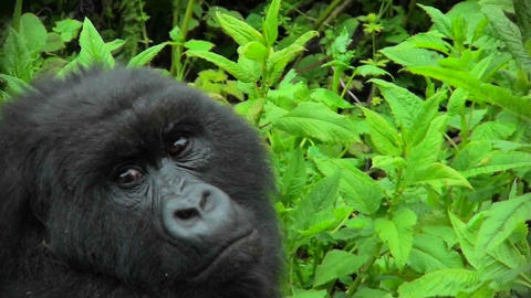 A mountain gorilla looks around in the Rwandan rainforest Footage