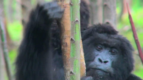 A baby mountain gorilla rides on its mothers back in the... Stock Video Footage
