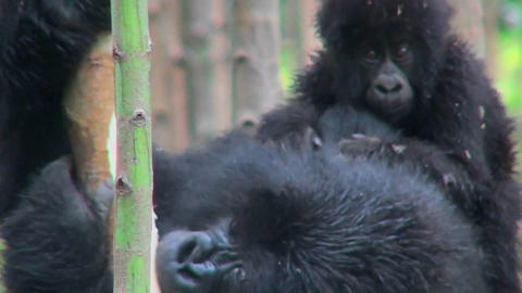 A baby mountain gorilla rides on its mothers back in the rainforest of Rwanda Footage