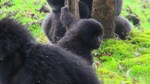A baby mountain gorilla climbs a eucalyptus tree in Rwanda Stock Video Footage