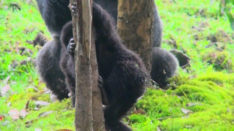 A baby mountain gorilla climbs a eucalyptus tree in Rwanda Footage