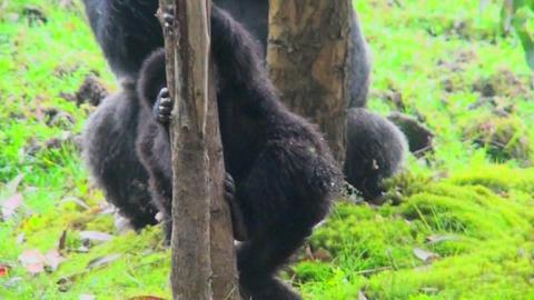 A baby mountain gorilla climbs a eucalyptus tree in Rwanda Footage
