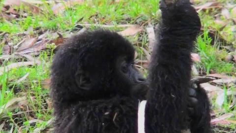 A baby gorilla eats a eucalyptus tree Footage