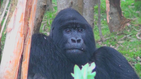 An adult female mountain gorilla chews food in the... Stock Video Footage
