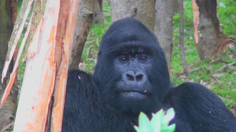 An adult female mountain gorilla chews food in the rainforest Footage