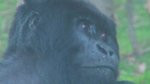 An adult female mountain gorilla looking at her surroundings Stock Video Footage