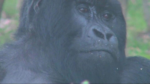 An adult female mountain gorilla looking at her surroundings Footage