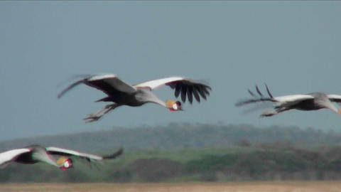 Beautiful slow motion shot of African crested cranes in... Stock Video Footage