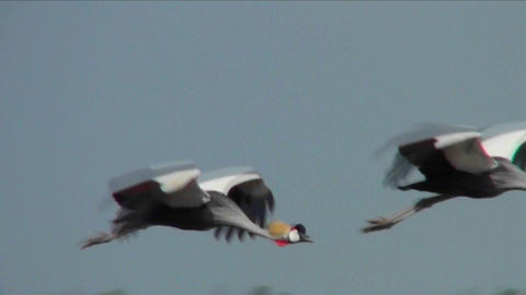 Beautiful slow motion shot of African crested cranes in flight Footage