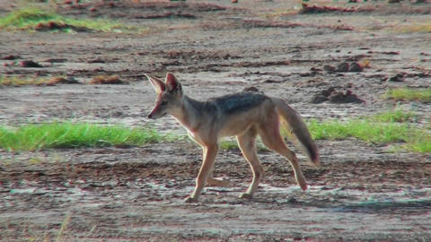 A jackal runs along in the Serengeti desert Stock Video Footage
