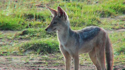 A jackal looks around curiously Stock Video Footage