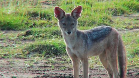 A jackal looks around curiously Live Action