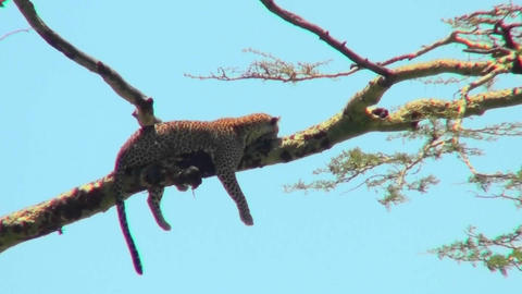 An Africa leopard lounges in a tree Footage