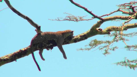 An Africa leopard lounges in a tree Stock Video Footage
